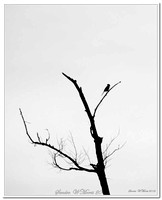 2150 bird in tree silhouette BW