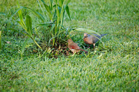 3841 cardinal and mourning dove