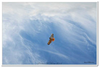 4990 red tailed hawk add background