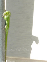 621 anole and shadow