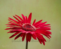 4869 red gerber daisy rice paper overlay