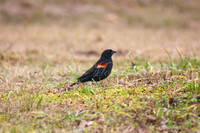 8613 red winged black bird copy