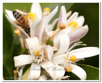 50 honey bee lemon blooms copy