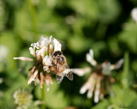 9143 honey bee on clover crop