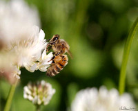 9151 honey bee on clover crop