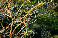 3810 mourning dove in crape myrtle