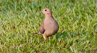 4089 mourning dove 100% crop