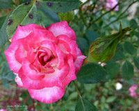 301 pink rose and bud