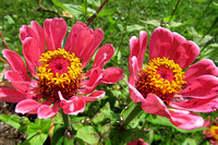 543 pink zinnias cropped 4x6