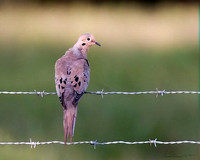 4151 mourning dove on fence crop